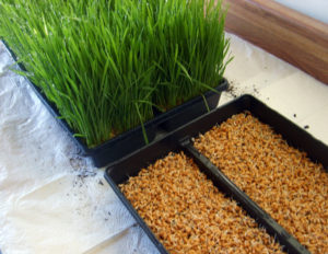 grow wheatgrass at home