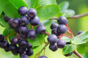 health benefits of maqui berries