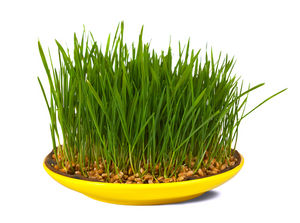 wheatgrass vs barleygrass
