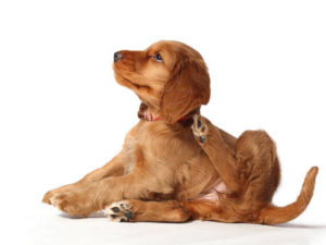 Tea Tree Oil For Fleas Everything You Need To Know Natures Best