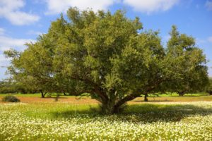 Argan tree - Argan oil for hair growth