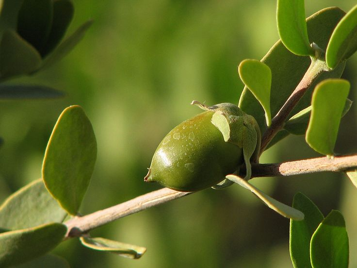 best jojoba oil for hair growth